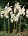 Lilium Candidum - the 'Madonna' Lily