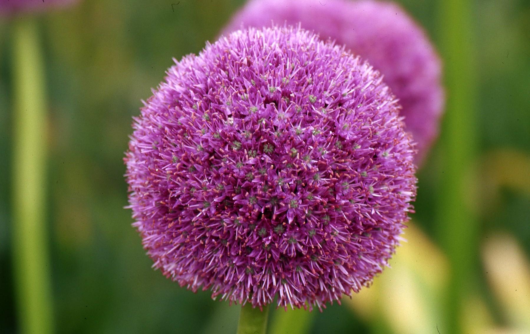 Allium Giganteum from the Gold Medal winning Harts Nursery