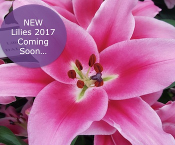 New lilies banner