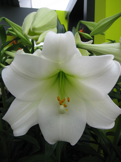 White Heaven Longiflorum Lily From The Gold Medal Winning
