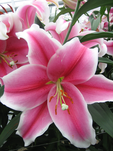 Pink Brilliant Longiflorum Oriental Lily From The Gold