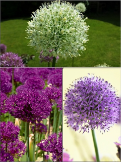 Allium Bulb Collection (Pack of 20 Bulbs)