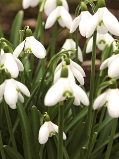 Galanthus Nivalis (Pack of 20) (Common Snowdrop)