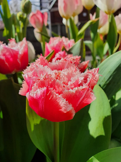 Tulip 'Queensland'