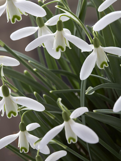 Galanthus Sam Arnott (Pack of 5)