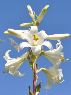 5x Lilium Candidum (Madonna Lily) | Large Bulbs | Perennial | Scented