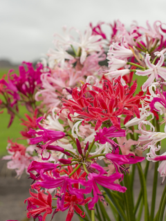 Breeder's Blend of Nerines
