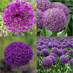 Allium Bulb Collections
