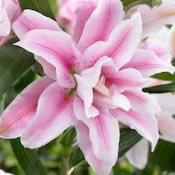 Roselilies