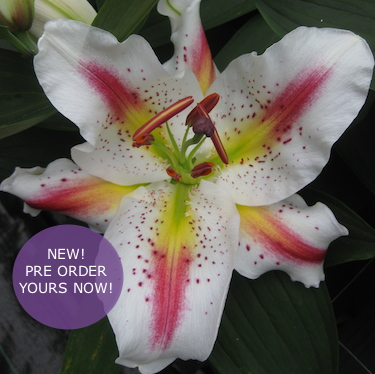 New Lilies 2019