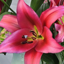 New Lilies 2018