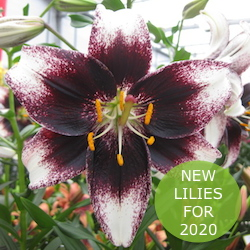 New Lilies 2020