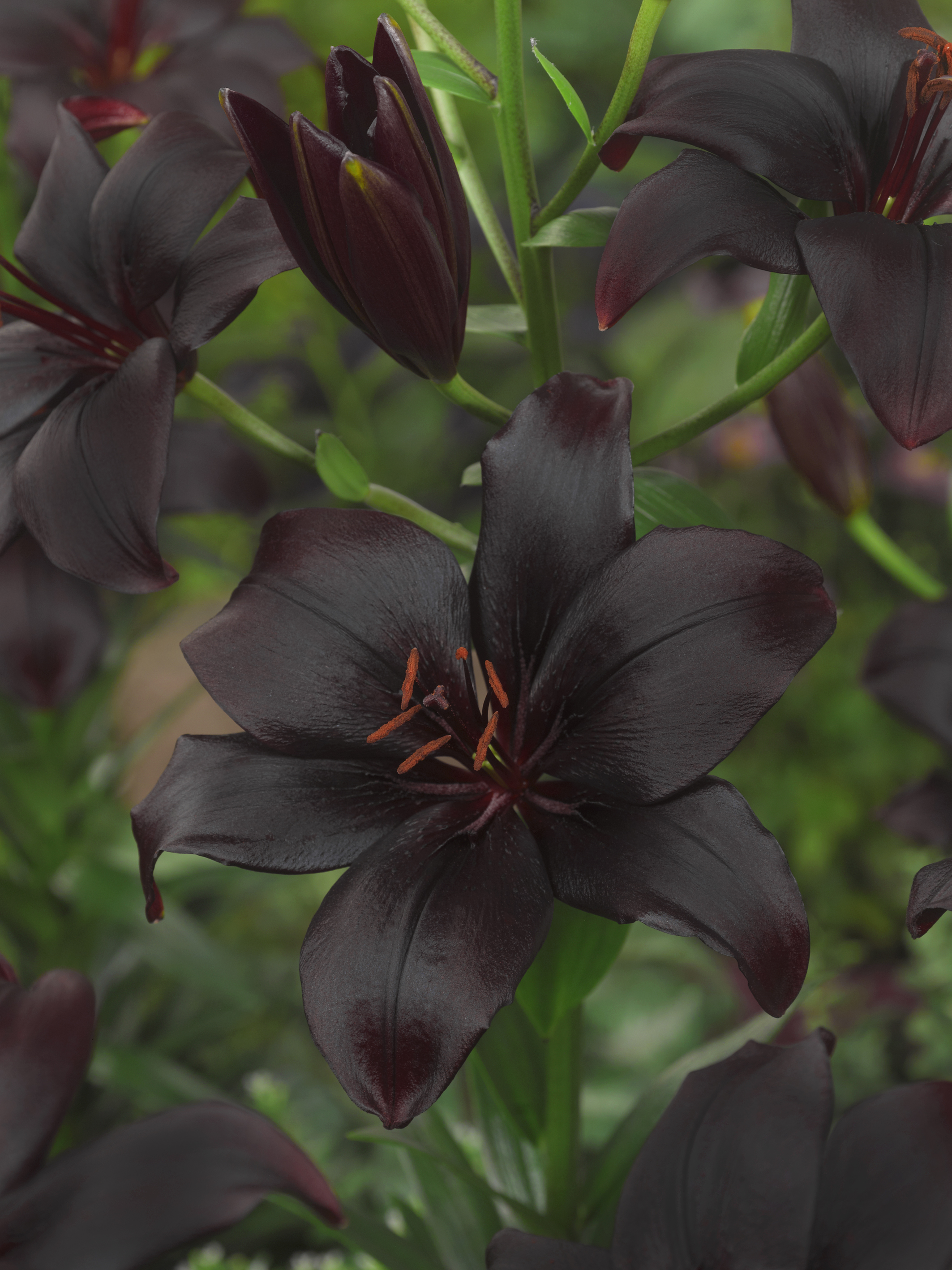 Buy Lily Bulbs Black Charm Asiatic Lily Bulbs From The Gold Medal
