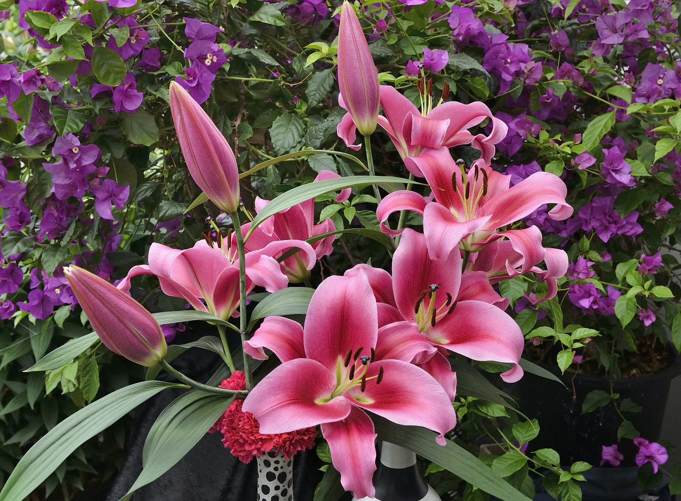 Dalian Oriental Trumpet Lily From The Gold Medal Winning