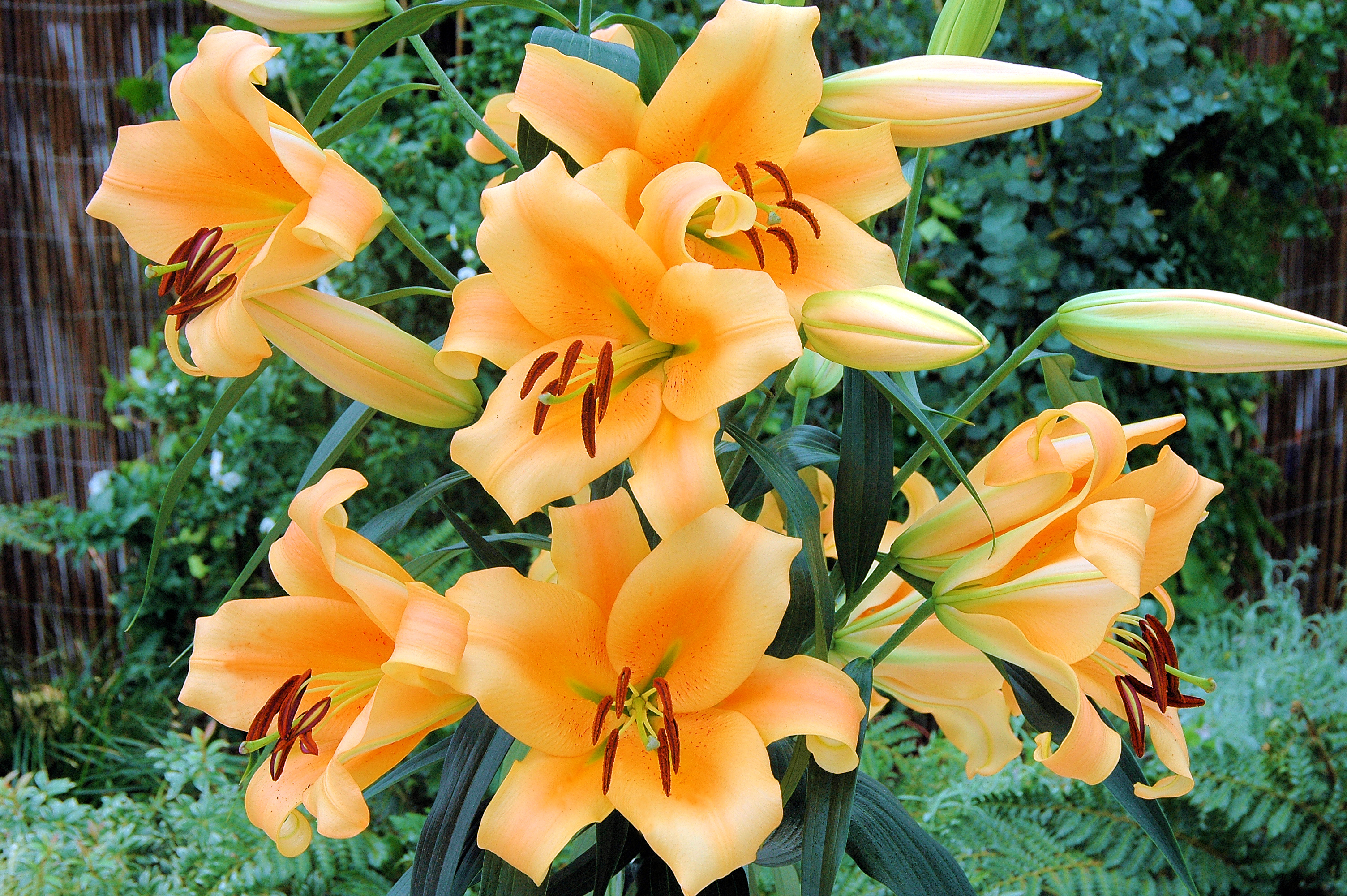 Eudoxia oriental trumpet lily bulbs from the gold medal winning eudoxia eudoxia oriental trumpet lily izmirmasajfo