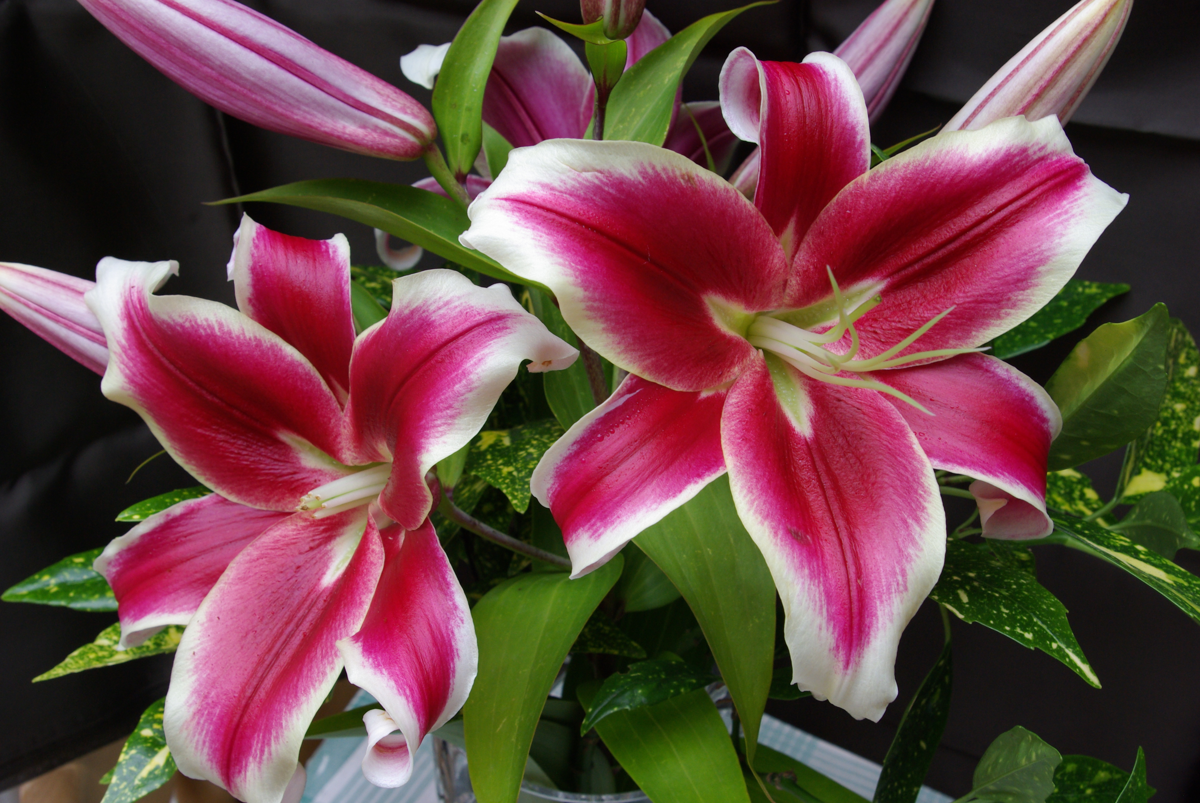 Flashpoint Oriental Trumpet Lily From The Gold Medal