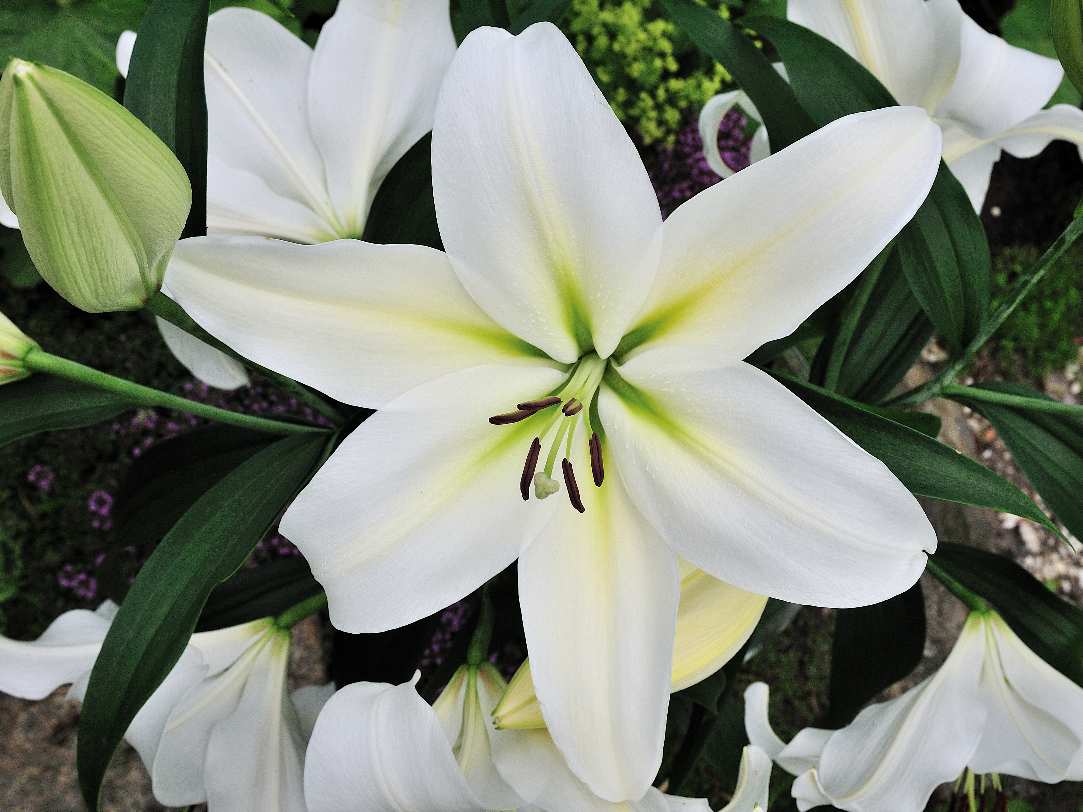 Gizmo longiflorum oriental lily from the gold medal winning harts gizmo gizmo longiflorum oriental lily izmirmasajfo Image collections