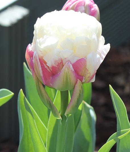 buy tulip bulbs tulipa ice cream gold medal winning. Black Bedroom Furniture Sets. Home Design Ideas