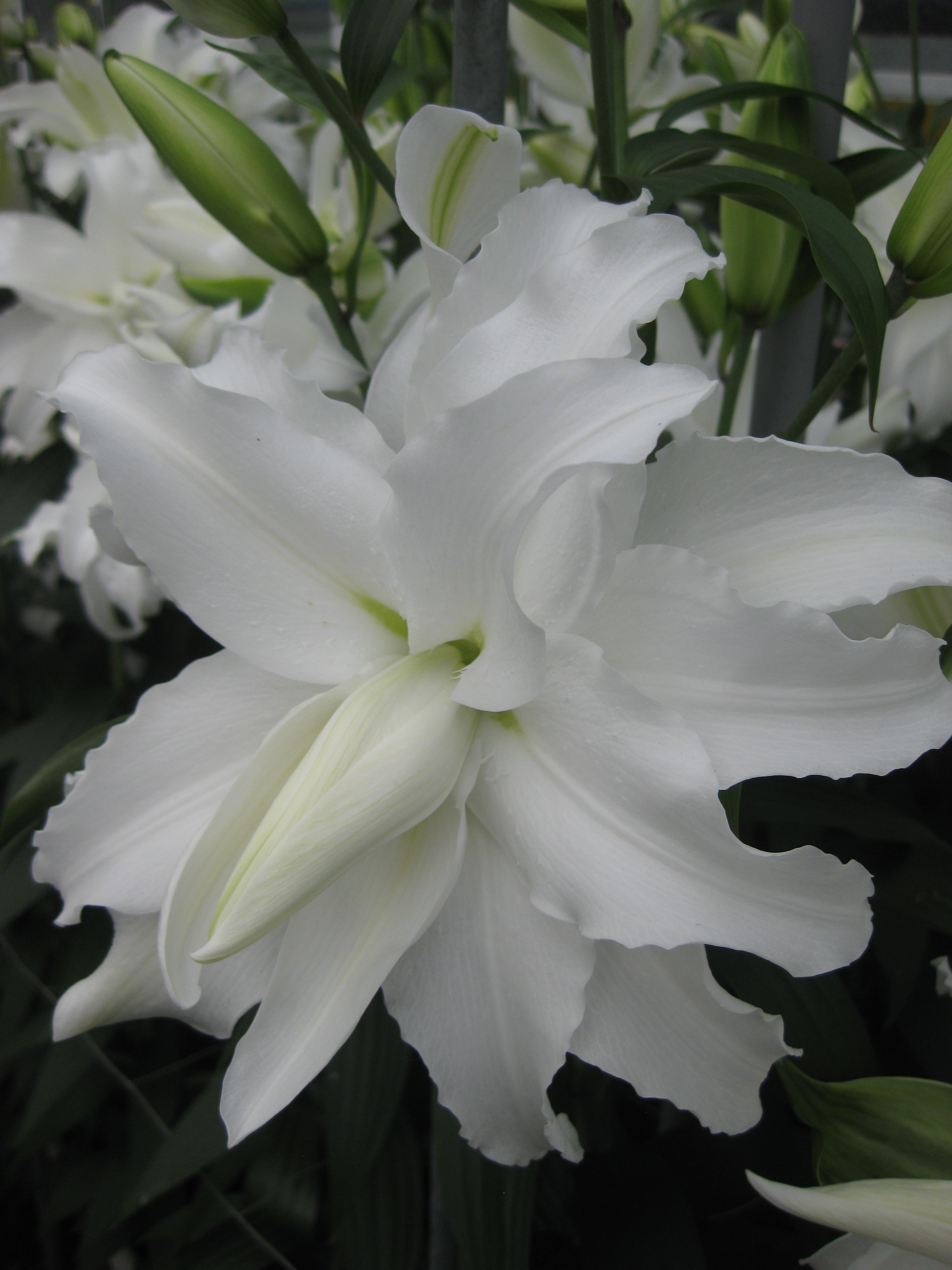 My wedding double oriental lily from the gold medal winning harts my wedding my wedding lily dhlflorist Choice Image