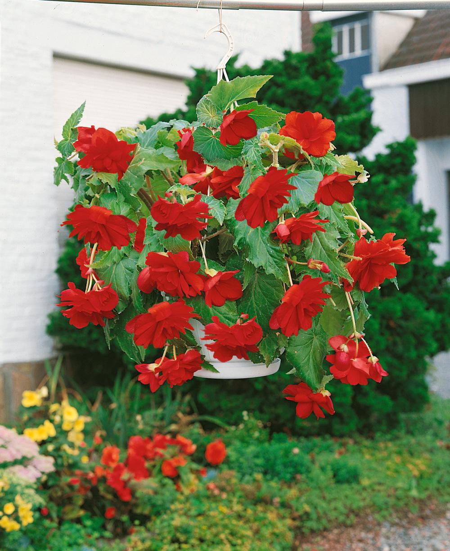 Buy Trailing Begonias Begonia Pendula Red Award Winning Harts Nursery
