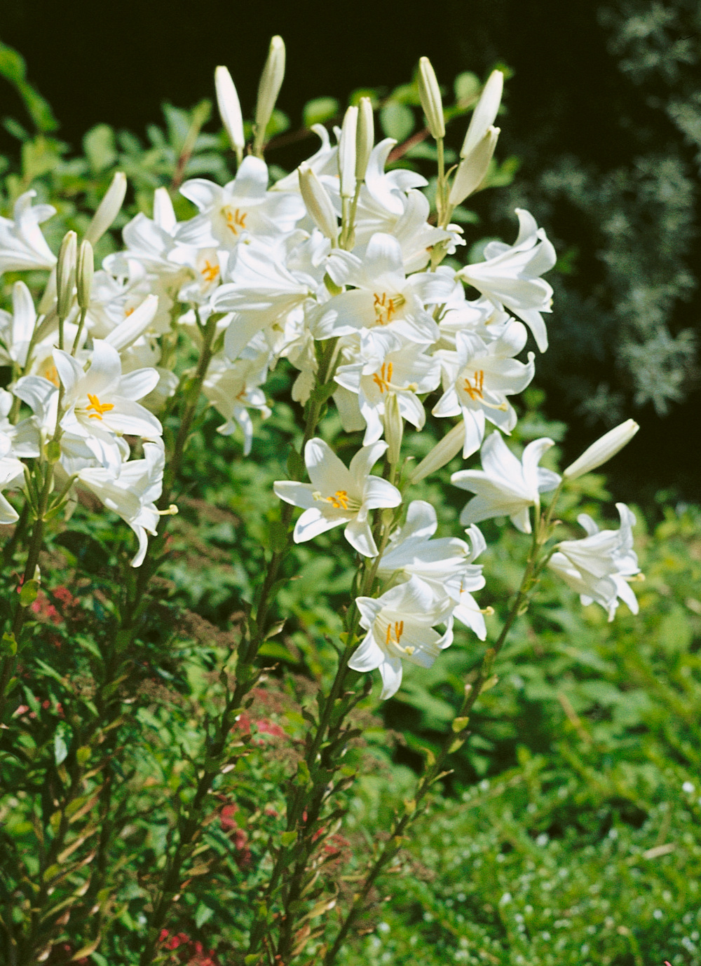 Lilium candidum the madonna lily from the gold medal winning harts the madonna lily in the garden izmirmasajfo
