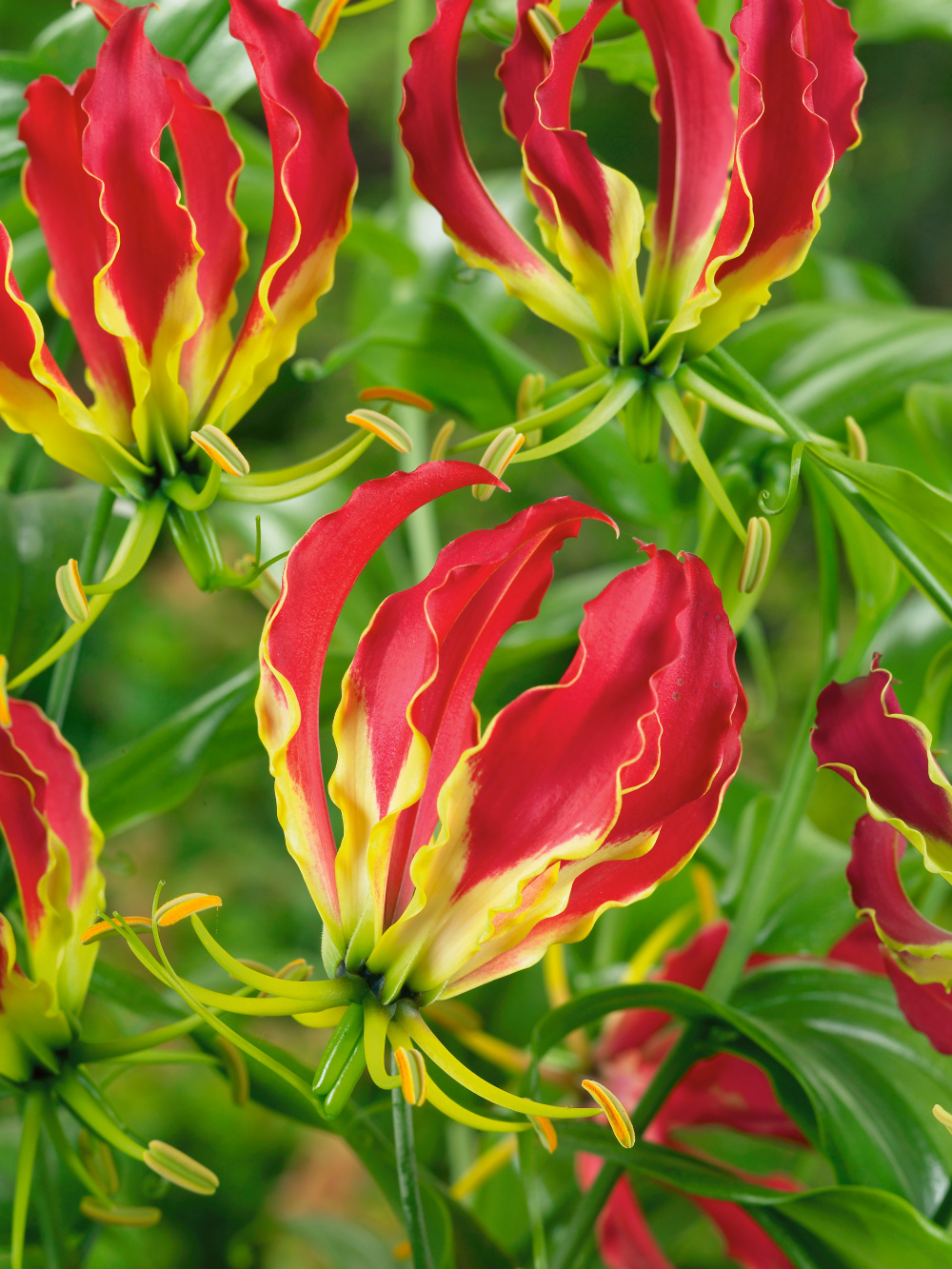Gloriosa the flame lily bulbs from the gold medal winning harts gloriosa the flame lily izmirmasajfo