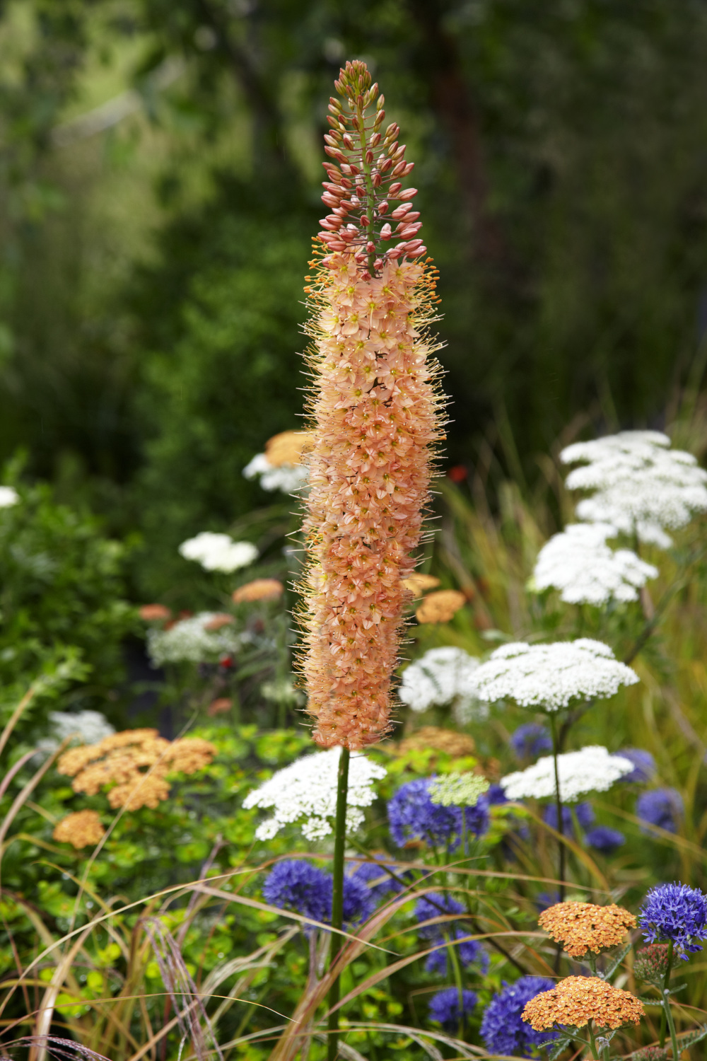 Buy Foxtail Lily Bulbs Eremurus Cleopatra Gold Medal Winning