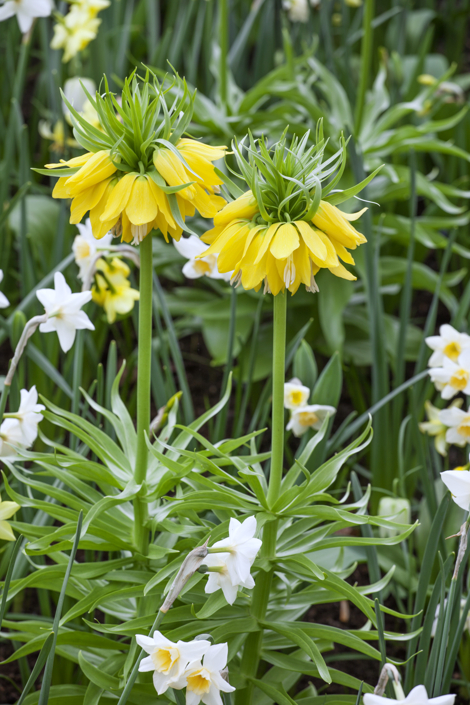 fritillaria imperialis lutea from the gold medal winning harts nursery. Black Bedroom Furniture Sets. Home Design Ideas