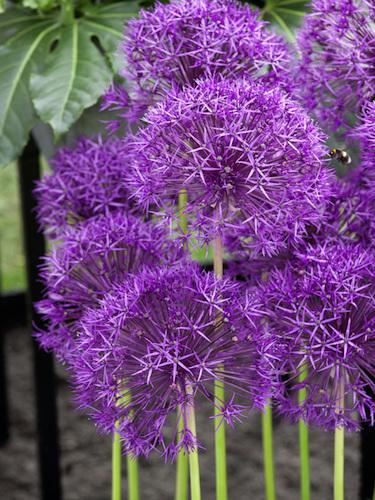 Allium Bulbs For Sale Allium Purple Rain Gold Medal