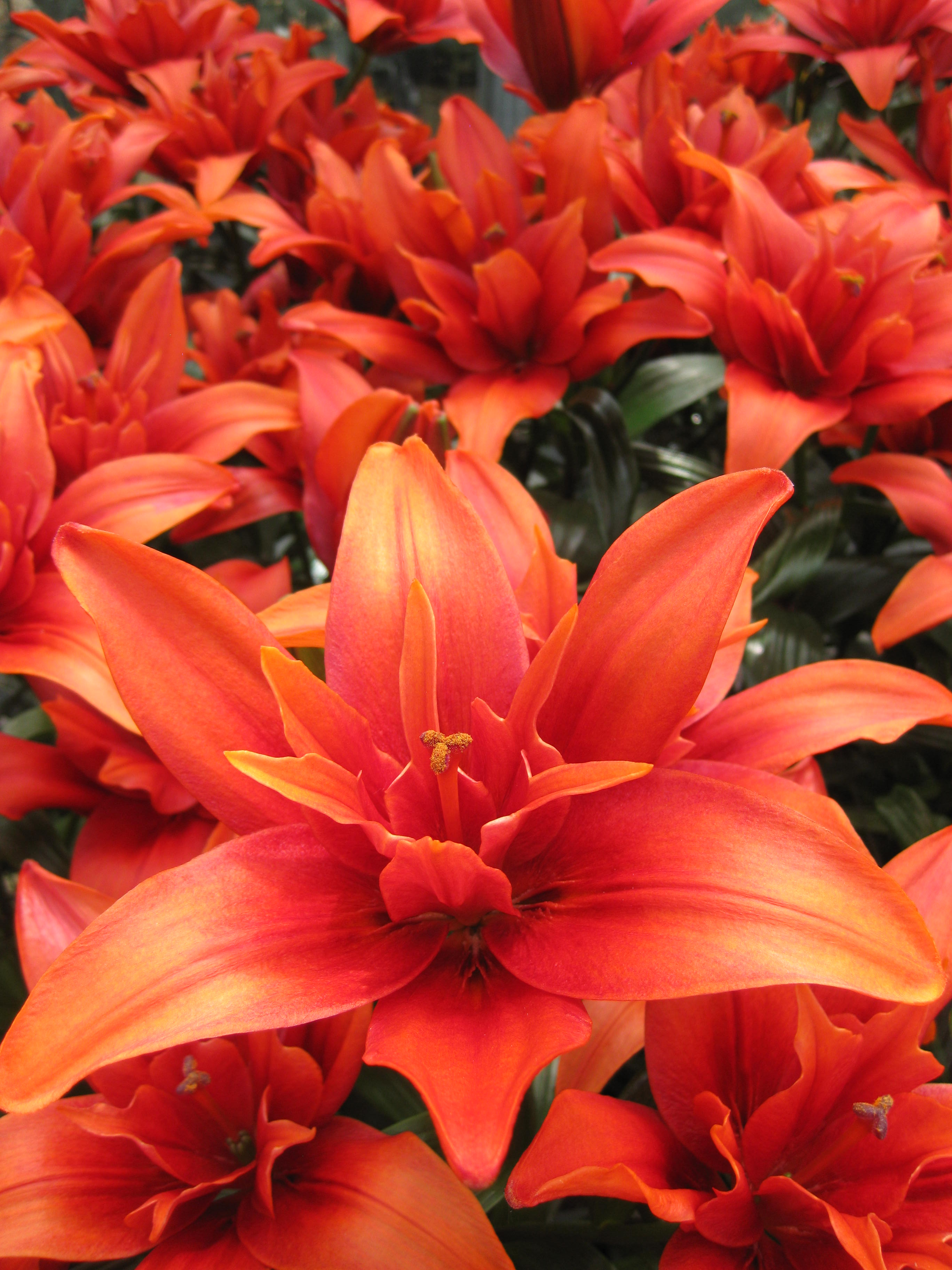 Red Twin Double Flowering Asiatic Lily From The Gold Medal