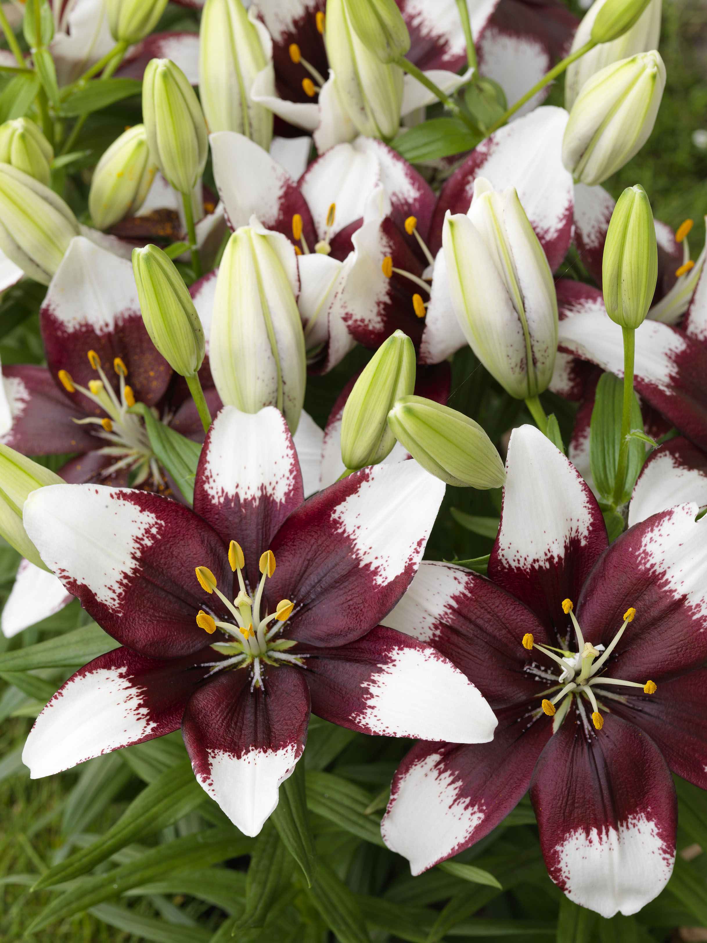 Tiny 'Padhye' Asiatic Lily from the Gold Medal winning ...