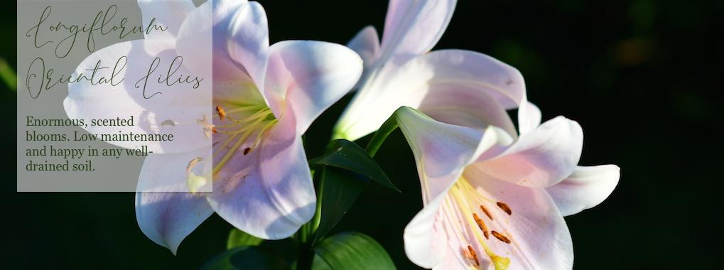 Longiflorum Oriental Lilies
