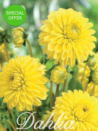 Dahlia 'Golden Torch' (Pack of 3 Tubers/Bulbs)