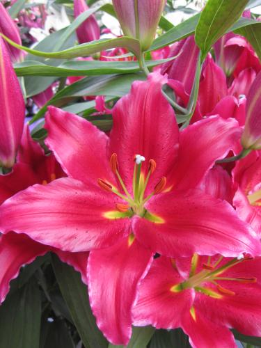 buy lily bulbs