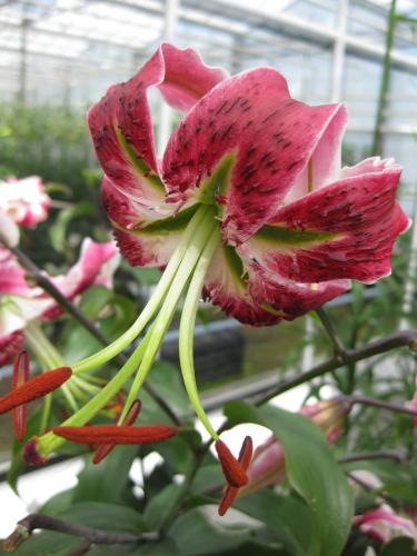Lily 'Black Beauty'