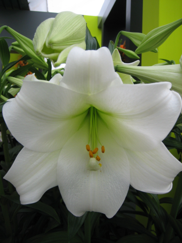 Lily 'White Heaven'