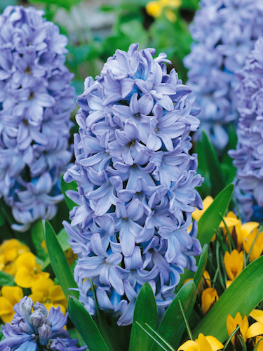 Hyacinth Delft Blue (Pack of 6)
