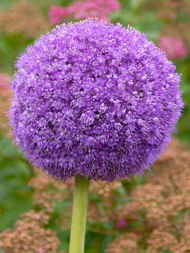 Allium Giganteum (Pack of 3 Bulbs)