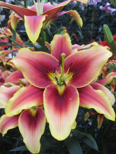 Lily 'Avalon Sunset'