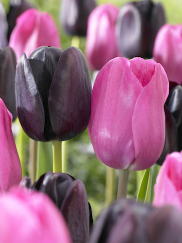 The Bella Fleur Tulip Collection (Pack of 20 Bulbs)