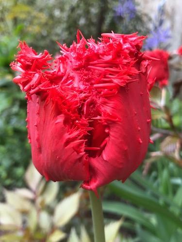 Tulip 'Barbados'