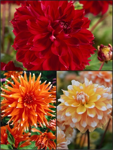 Broadway Nights Mixed Dahlias (Pack of 9)