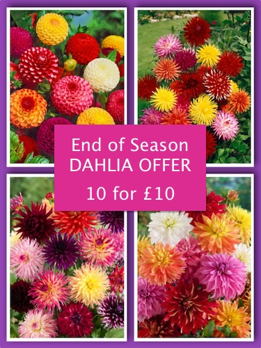 Mixed Collection of Dahlias (pack of 10 tubers)