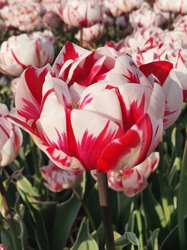 Tulip 'Carnaval de Nice'