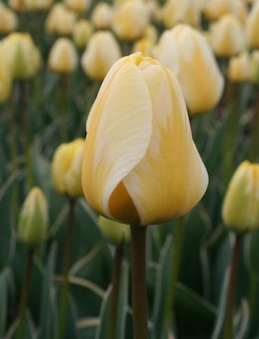 Tulip 'Cream Cocktail'