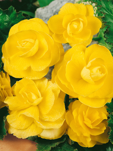 Begonia Double Yellow (Pack of 5)