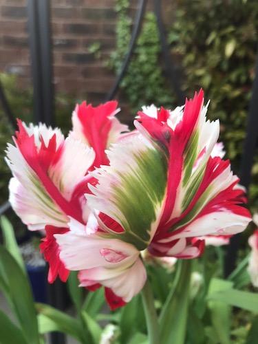 Tulip 'Estella Rynveld'