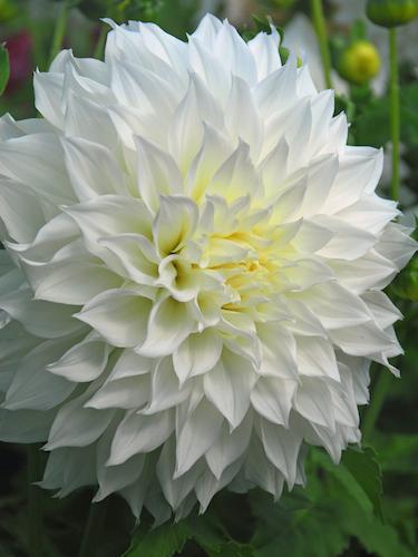 Dahlia 'Fleurel'