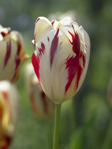 Tulip 'Grand Perfection'