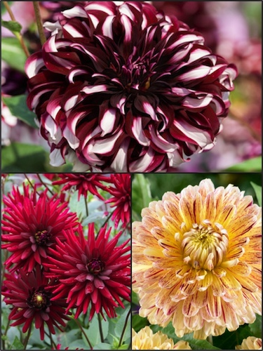 Gryffindor Blend Mixed Dahlias (Pack of 9)